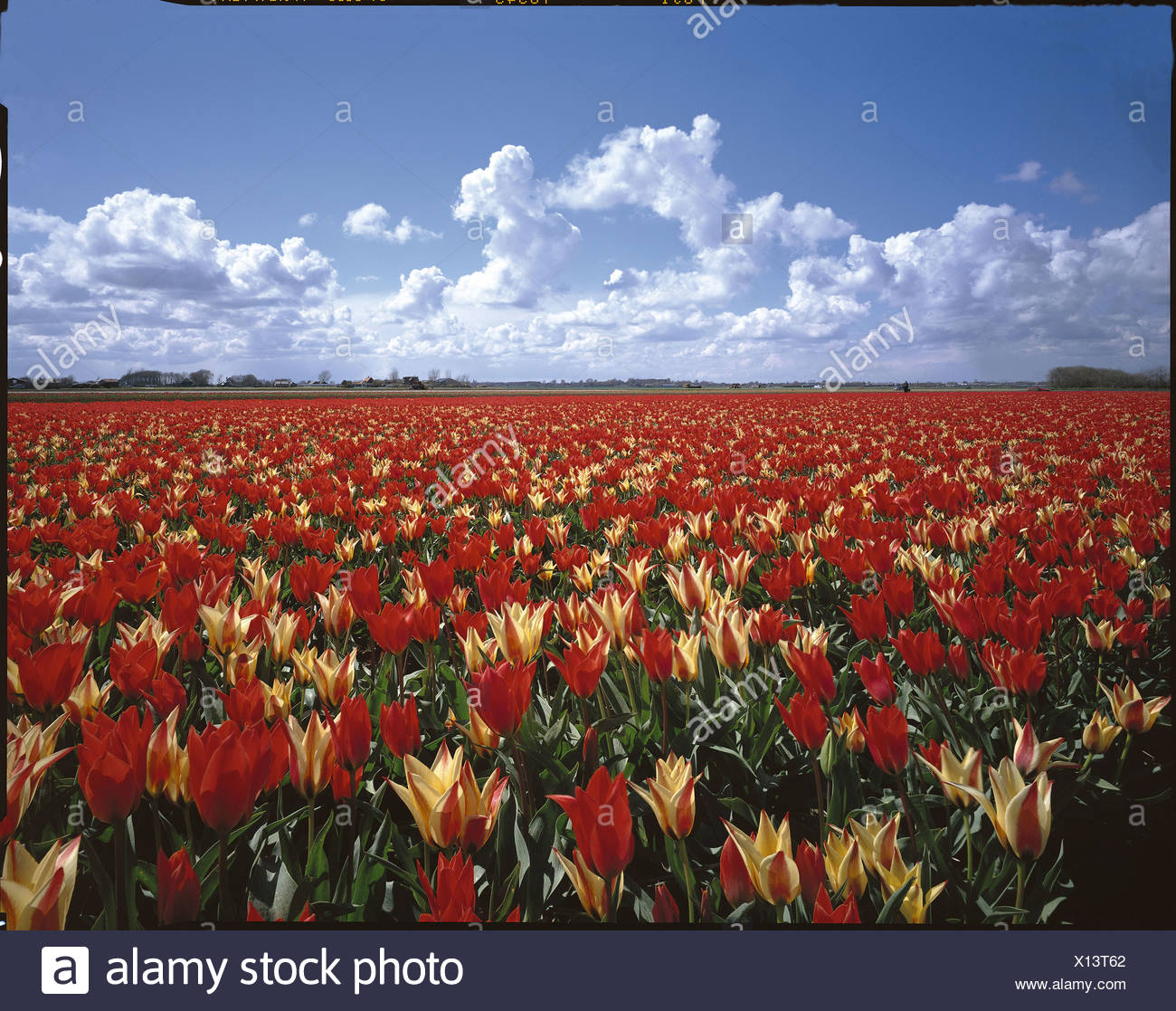 flowers flower field Egmond within field Holland scenery agriculture Netherlands tulips tulip field cloud - Stock Image
