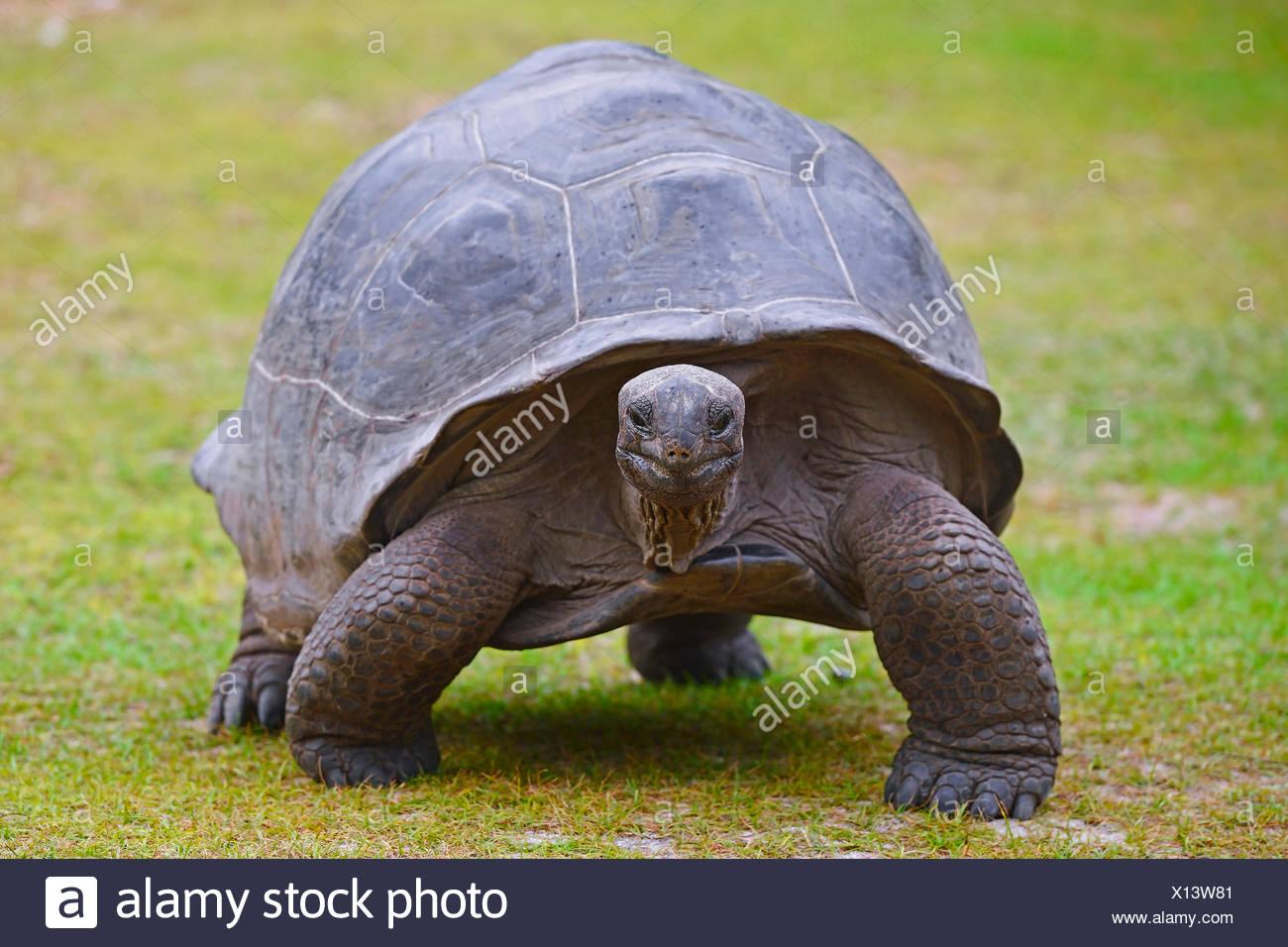 Seychelles giant tortoise, Aldabran giant tortoise, Aldabra giant tortoise (Aldabrachelys gigantea, Testudo gigantea, Geochelone gigantea, Megalochelys gigantea), walking in a meadow, front view, Seychelles, Curieuse - Stock Image