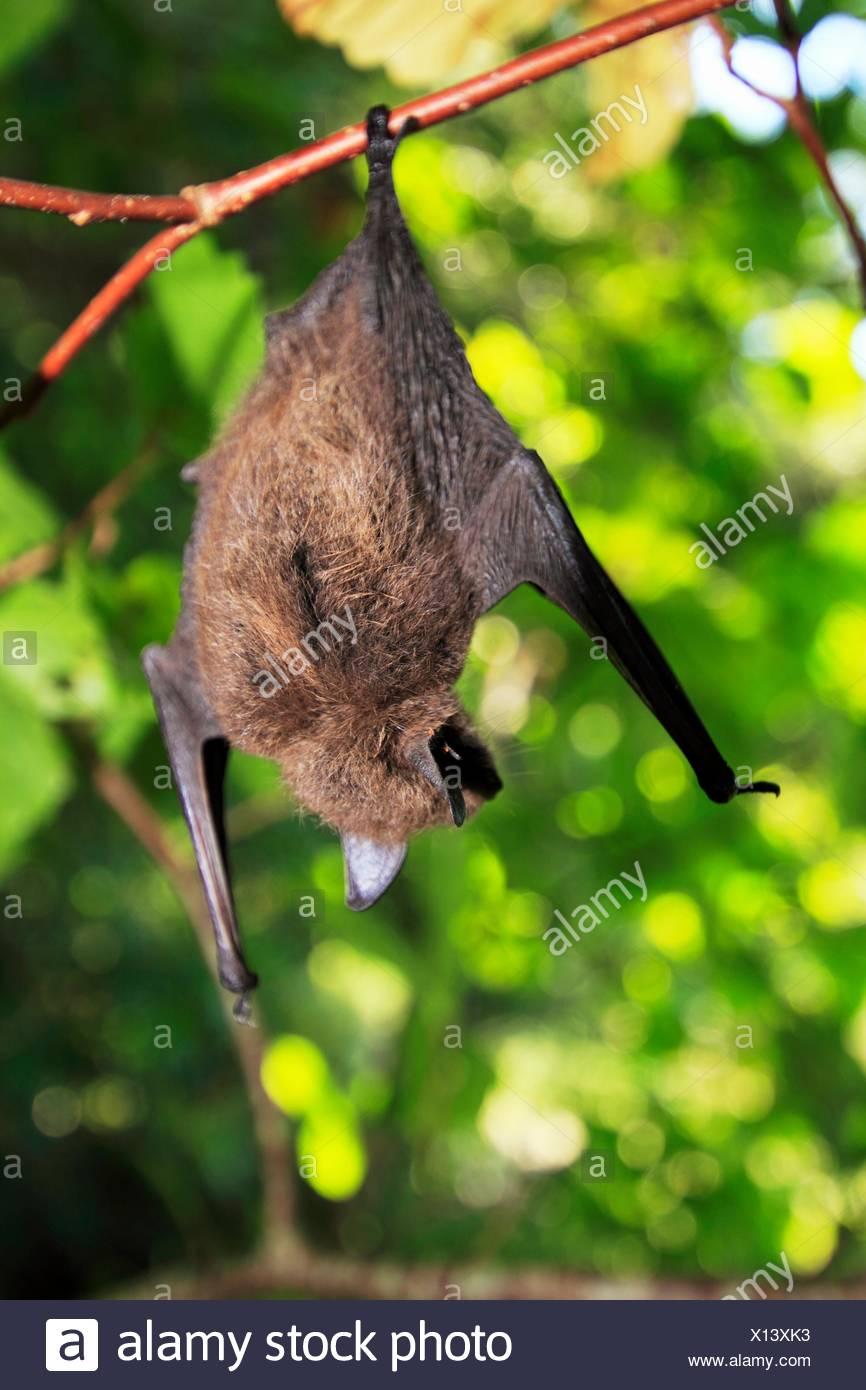 Little Brown Bat Stock Photos Amp Little Brown Bat Stock