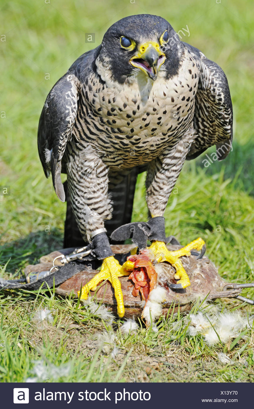 Peregrine Falcon with its prey, Germany - Stock Image