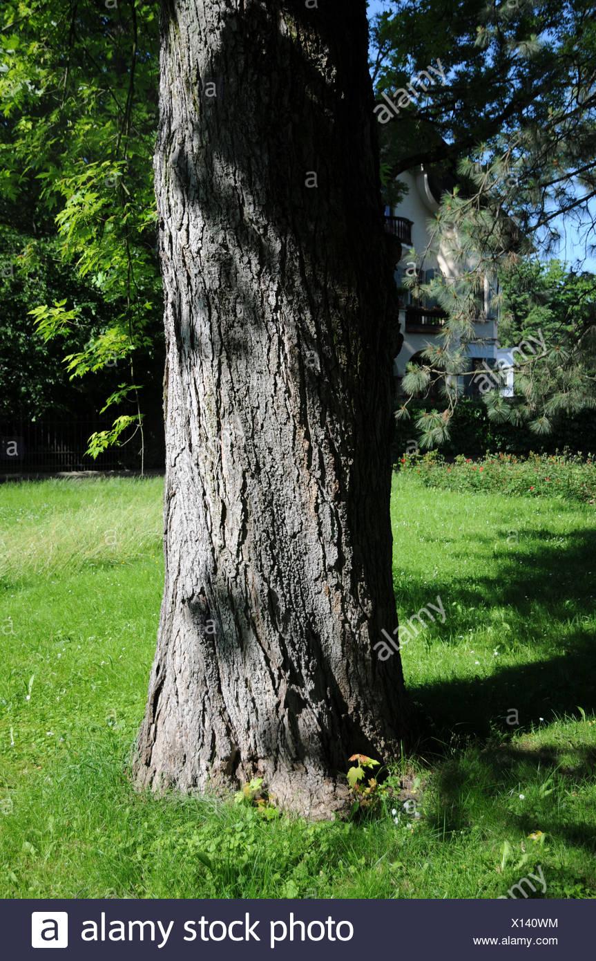 Silver Maple Bark Acer Saccharinum Stock Photos Silver Maple Bark