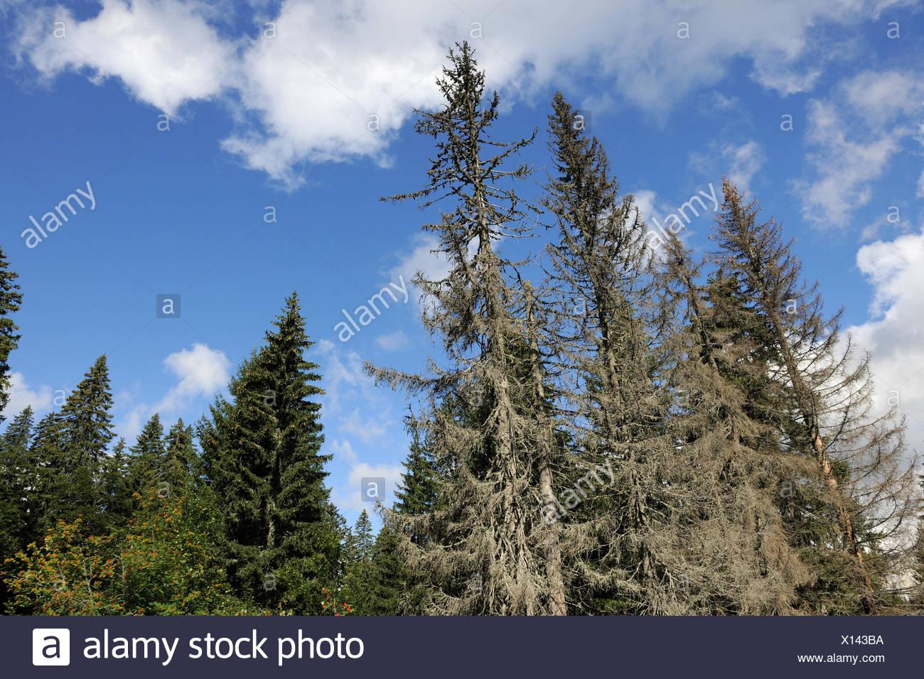 Trees dying from  bark beetle infestation, North Velebit National Park, Velebit Nature Park, Dalmatian coast, Adriatic sea, Croatia - Stock Image