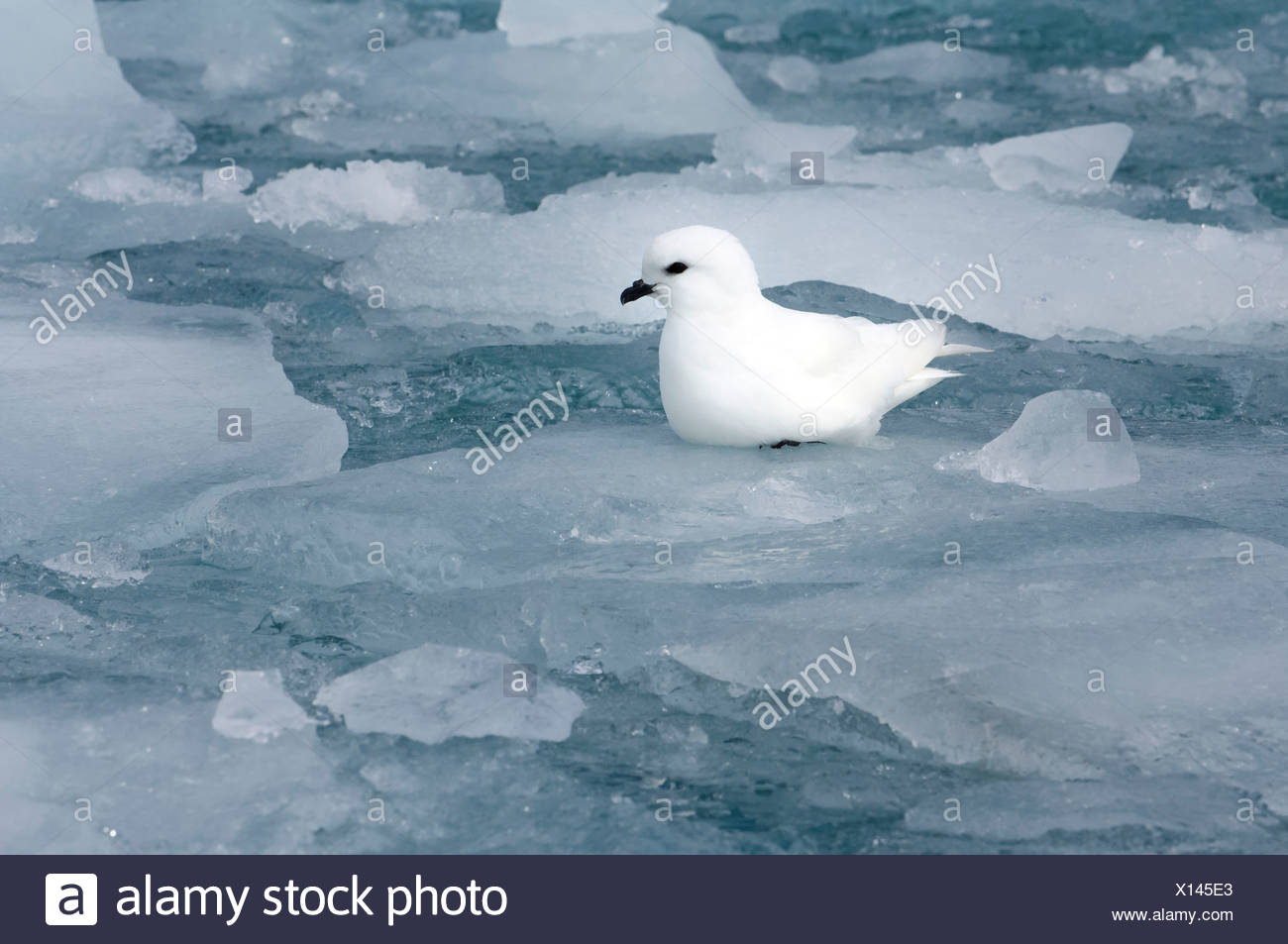 Snow Petrel - Stock Image