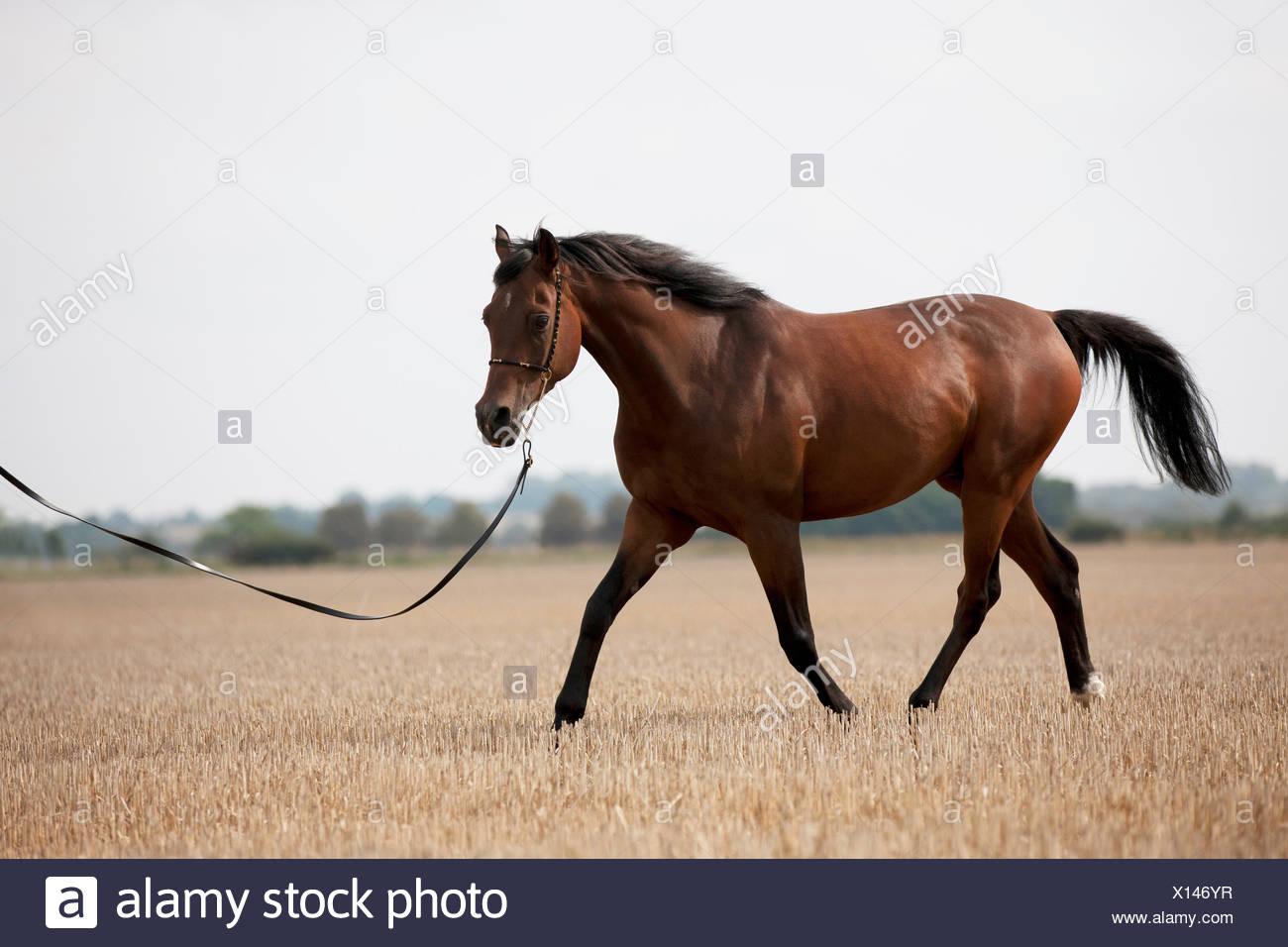 A dark bay Arabian horse walking in a stubble field - Stock Image