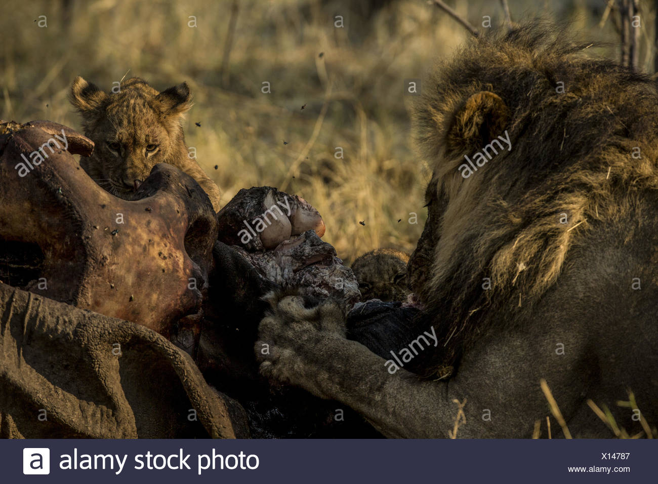 A lion, Panthera leo, and cubs feed on the face of an elephant, Loxodonta africana, carcass. - Stock Image