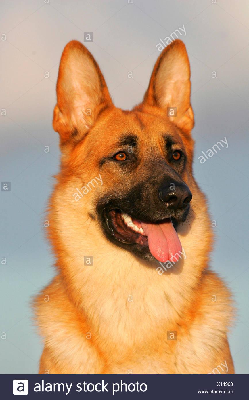German Shepherd Alsatian Portrait of adult Germany Stock Photo