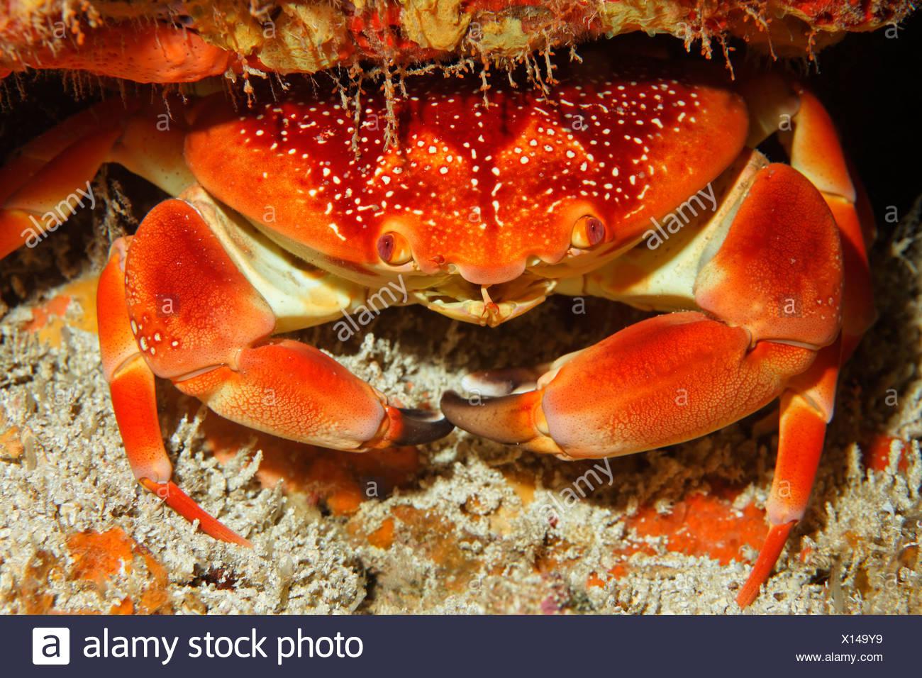 Batwing Coral Crab (Carpilius corallinus), Little Tobago, Speyside, Trinidad and Tobago, Lesser Antilles, Caribbean Sea - Stock Image