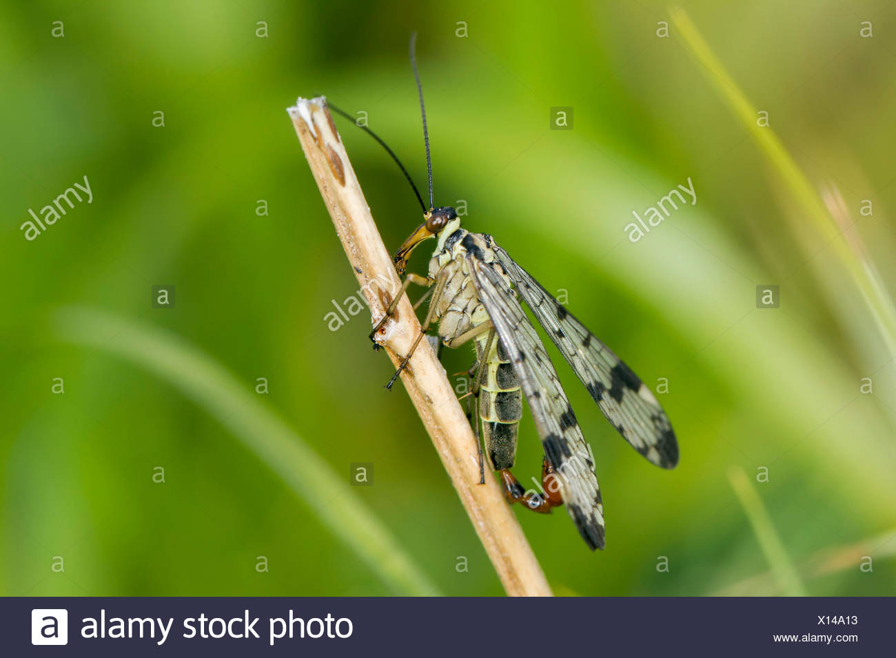 Scorpion Fly (Panorpa communis), male, on dead plant stalk, South Wales, United Kingdom - Stock Image