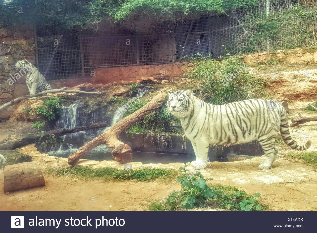 White Tigers By Ponds In Zoo Stock Photo