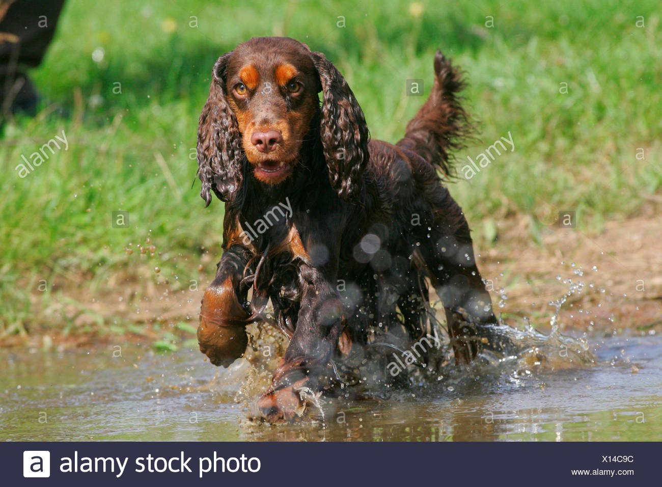 English Cocker Spaniel Adult running water Germany - Stock Image