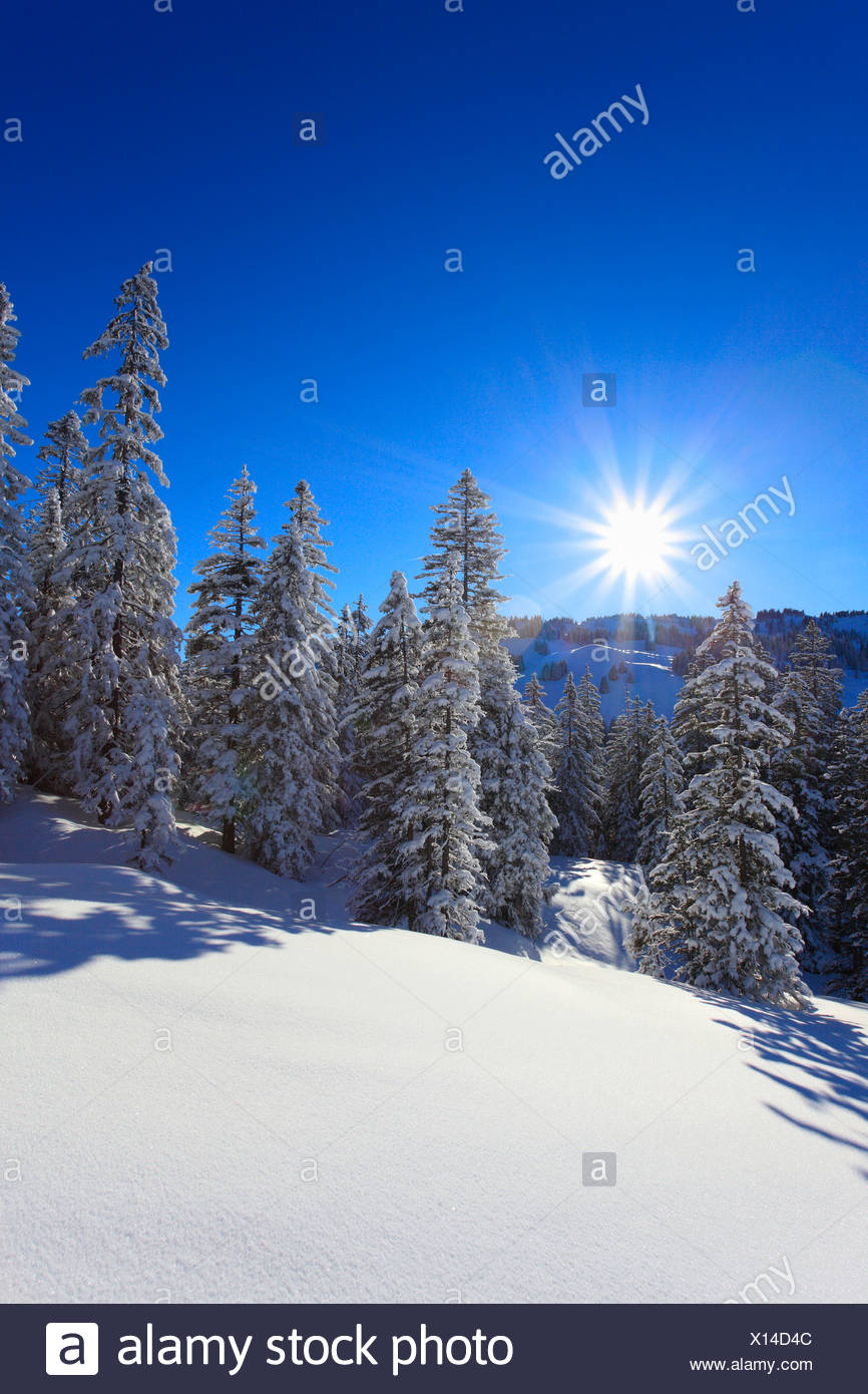 Tree, trees, spruce, spruces, back light, sky, cold, snow, Switzerland, Europe, sun, star, fir, firs, wood, forest, winter, blue - Stock Image