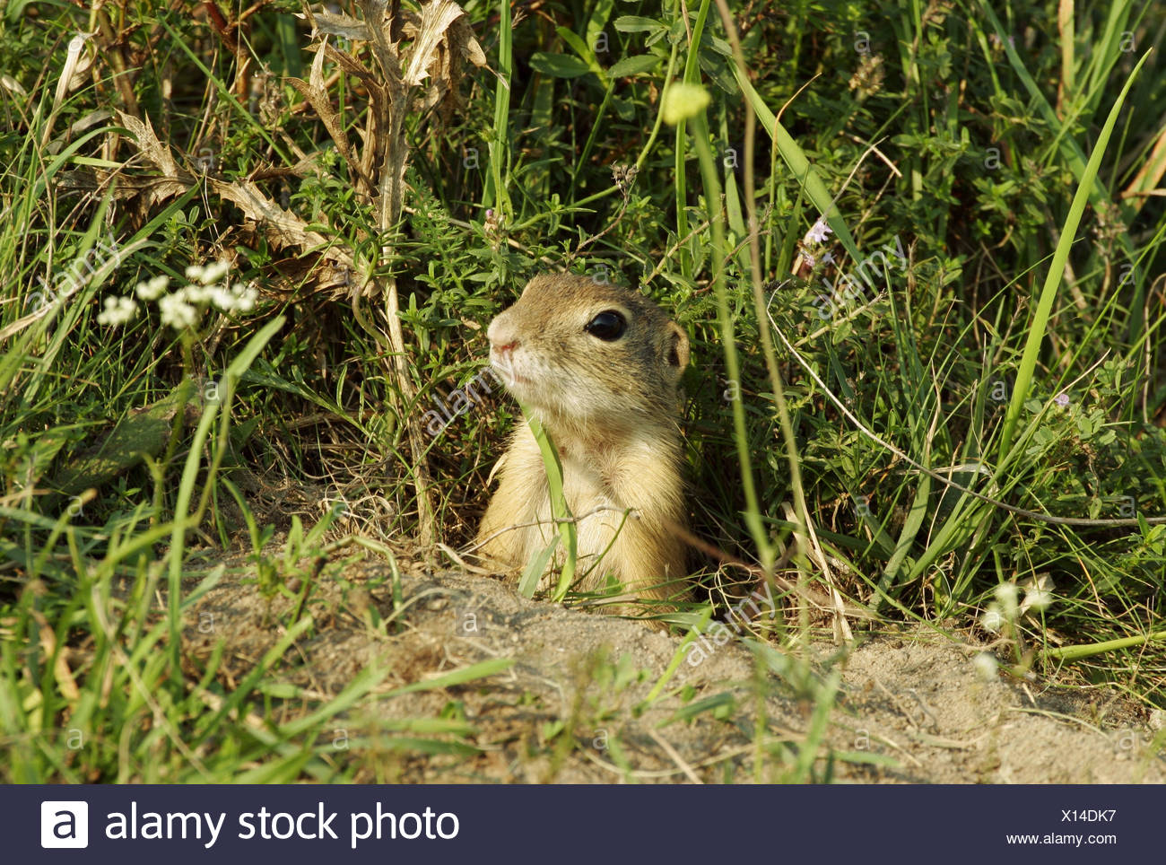 zoology / animals, mammal / mammalian, Sciuridae, European ground squirrel (Spermophilus citellus), looking out of den, Neusiedler See, Austria, distribution: Europe, Additional-Rights-Clearance-Info-Not-Available - Stock Image