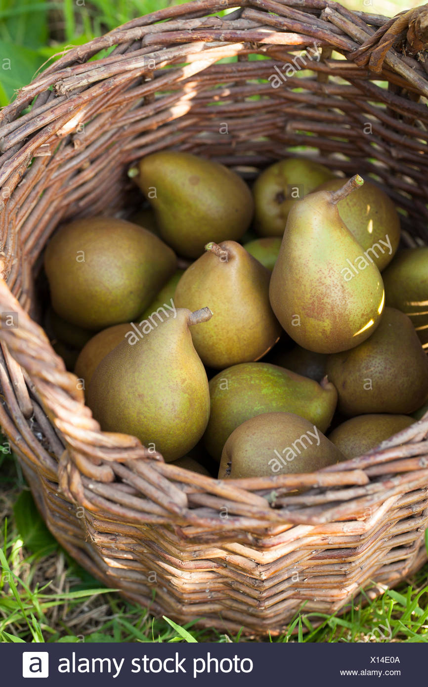 Beurre Hardy Pears in Basket - Stock Image
