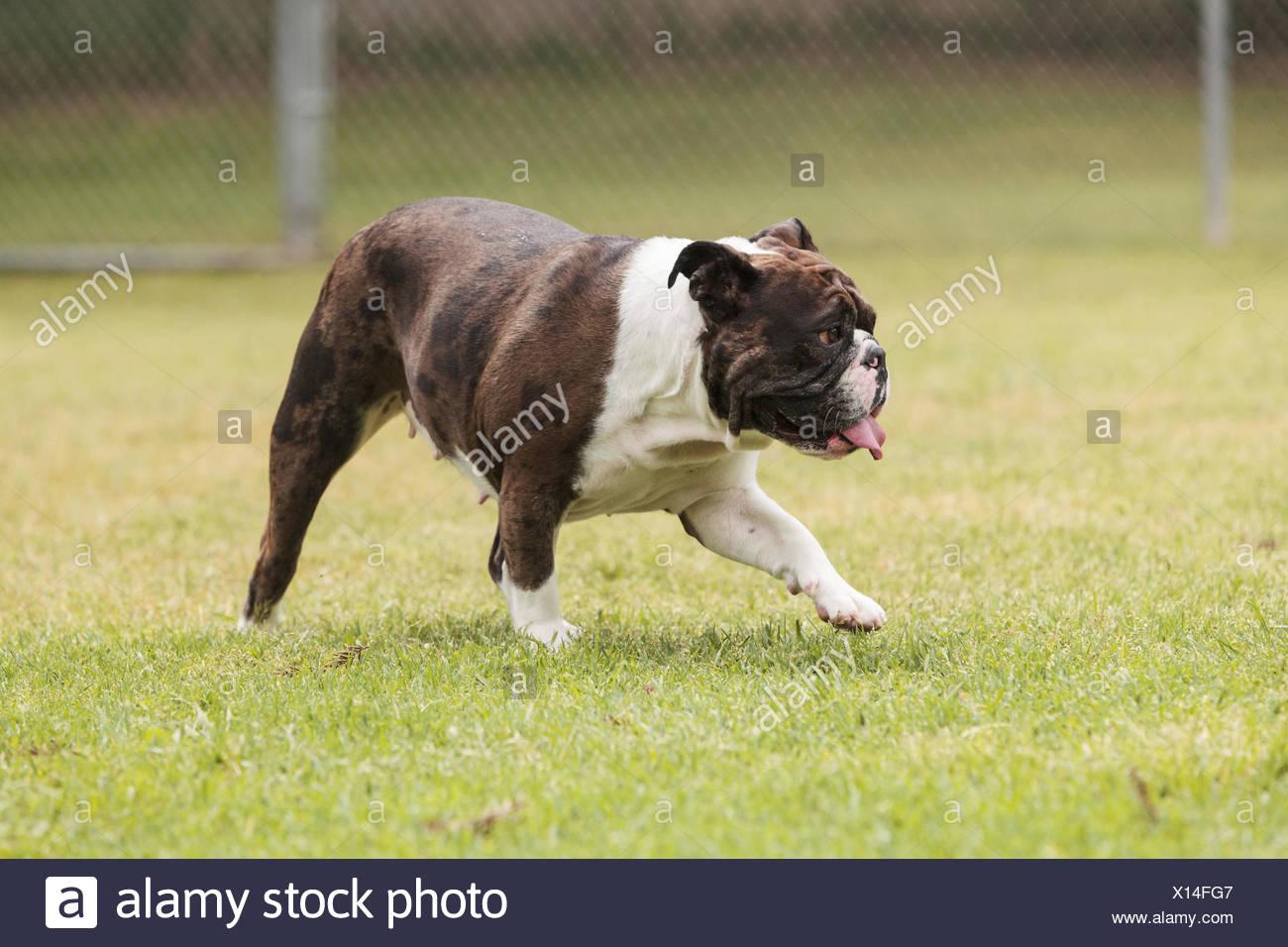 Brindle bulldog mix - Stock Image