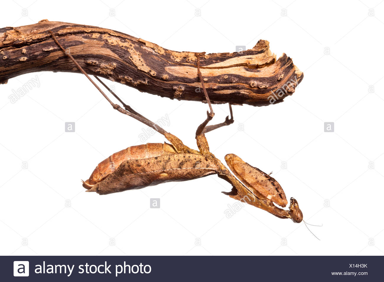 Dead leaf mantis (Deroplatys dessicata) hanging upside down from twig, photographed against a white background, orginating from South East Asia. Captive. - Stock Image