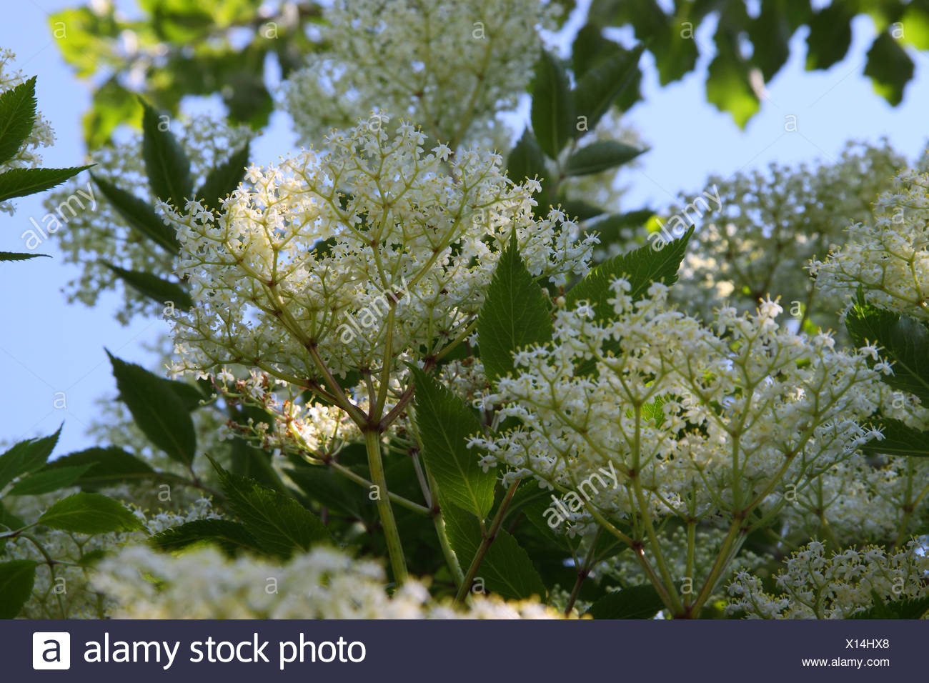 Light and shadow in the elder tree - Stock Image