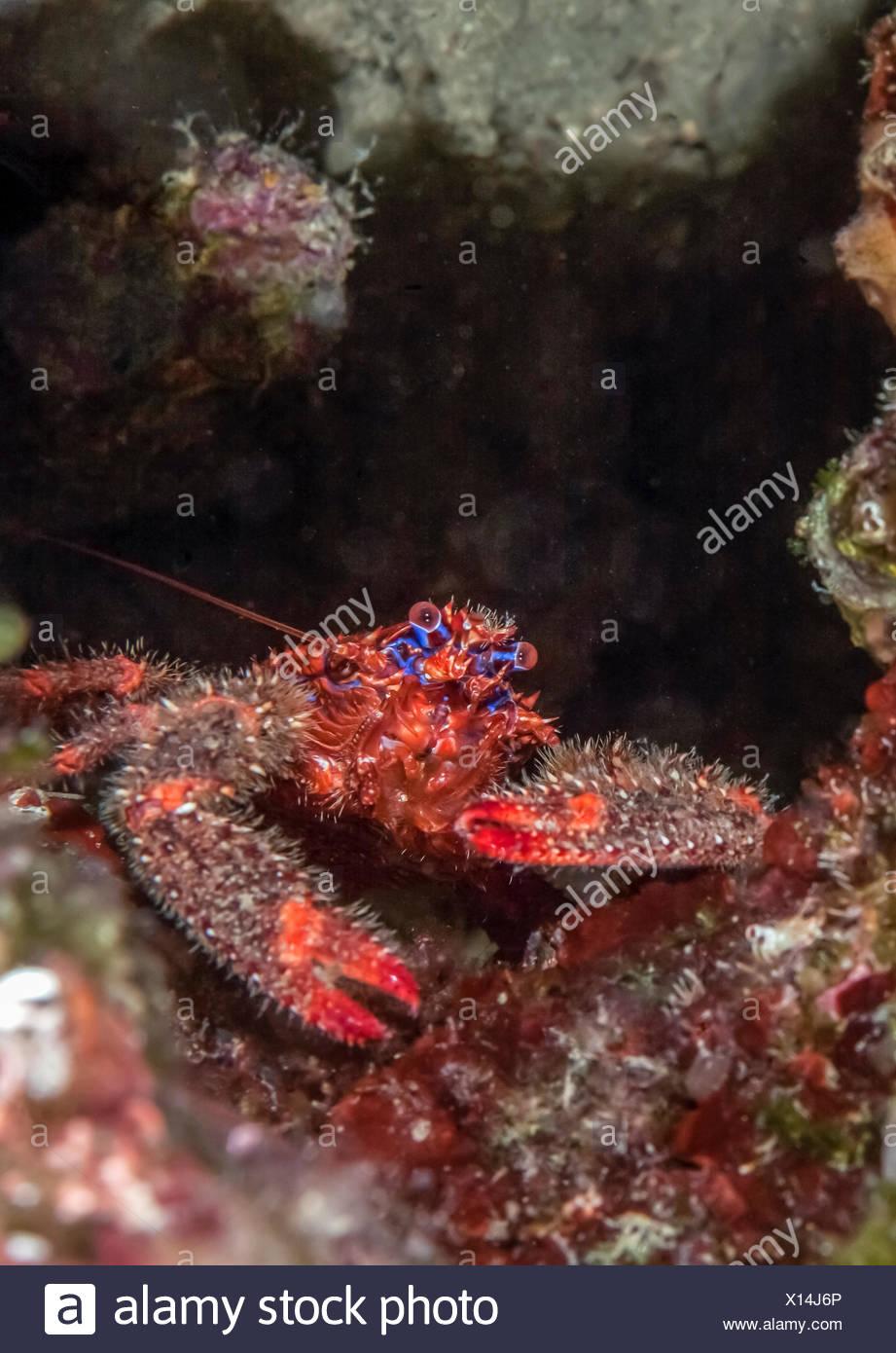 Croatia, Spinous Squad Lobster, Galathea strigosa - Stock Image