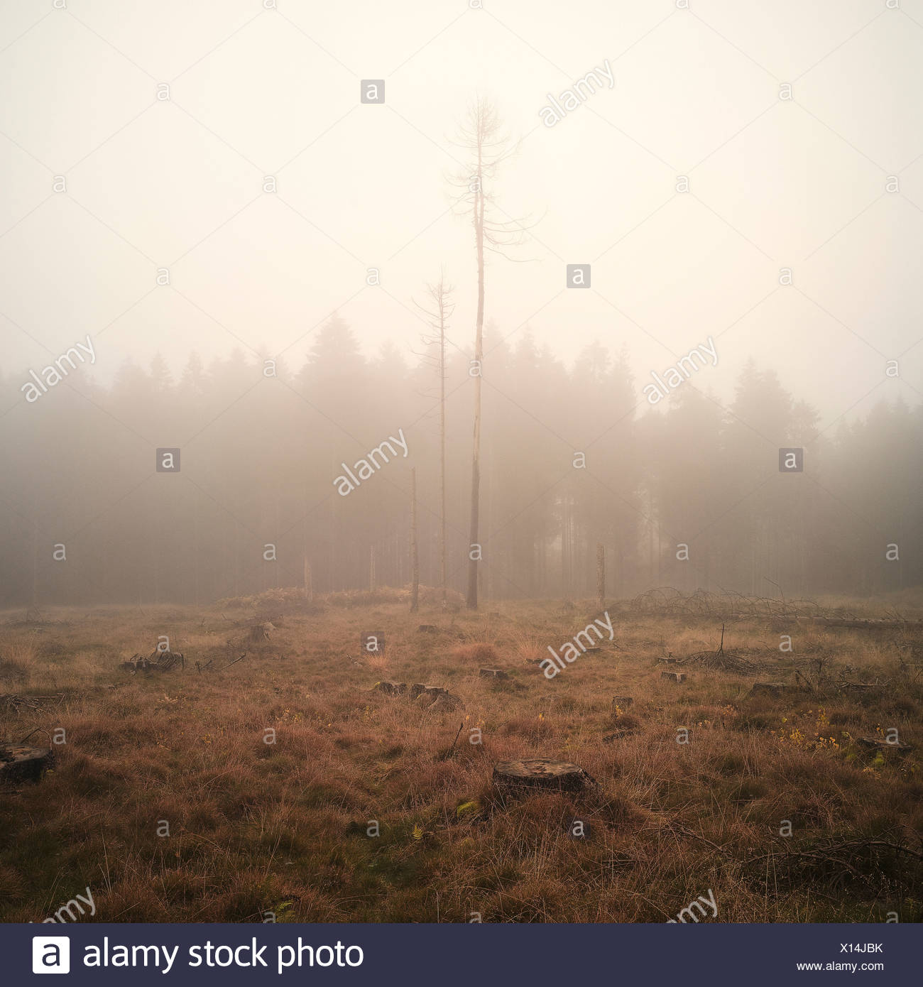 Bare trees in misty forest - Stock Image