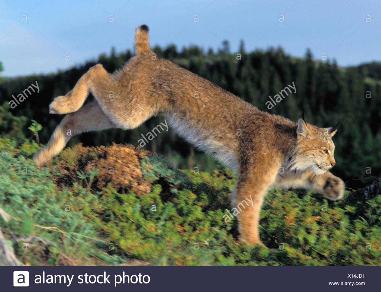 Tk0610, Thomas Kitchin; Lynx Running. Summer. Rocky Mountains. North America. Felis Lynx Canadensis. - Stock Image