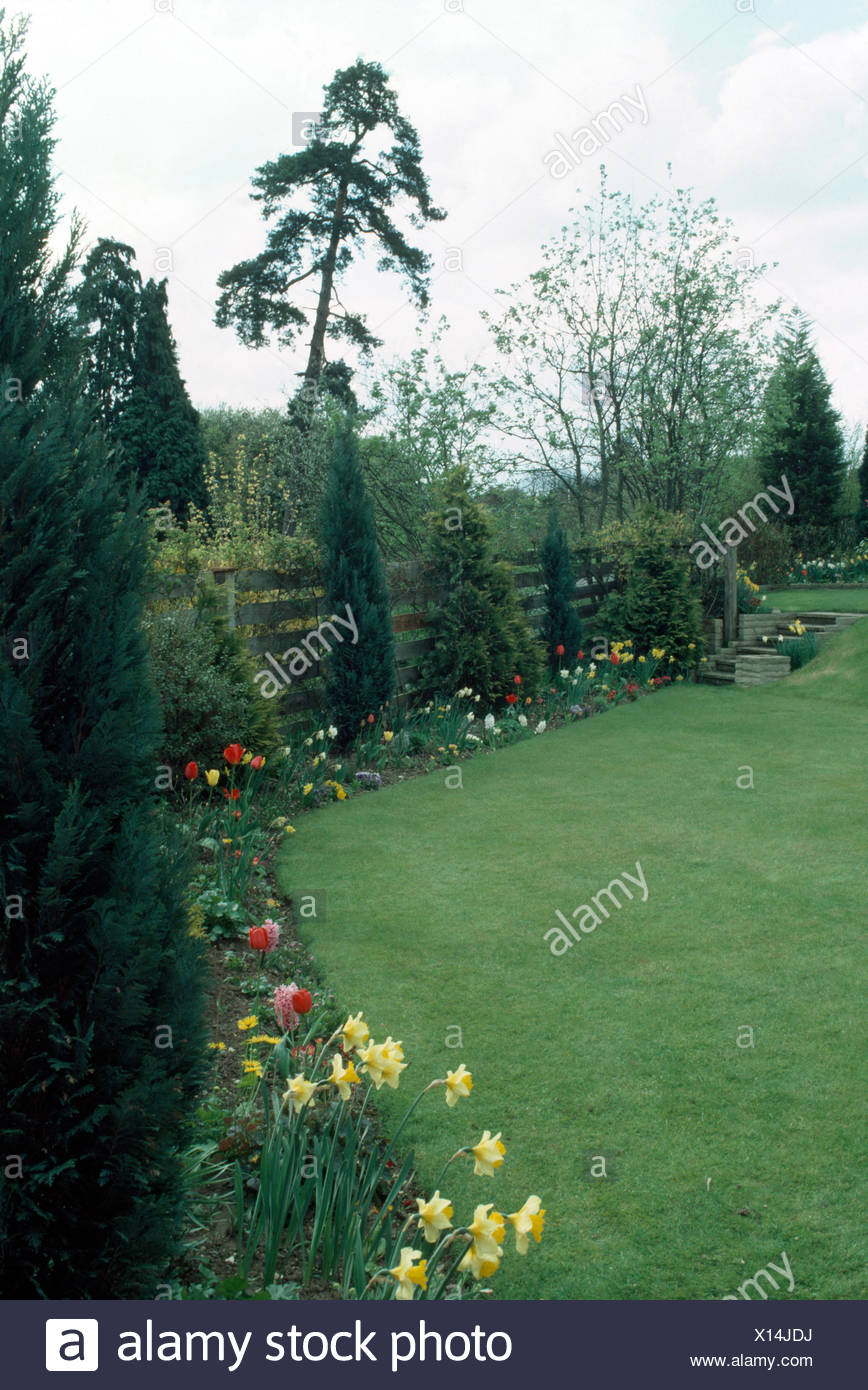 Daffodils and red tulips in border with small conifers in country garden in Spring - Stock Image
