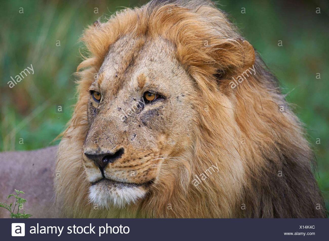 Botswana, Africa, lion, Savuti, male, mane - Stock Image