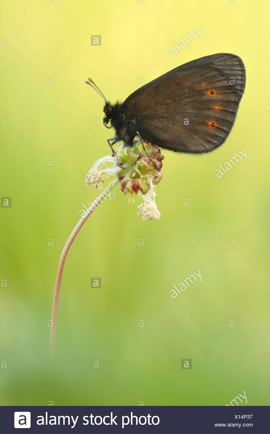 brush-footed butterfly Stock Photo