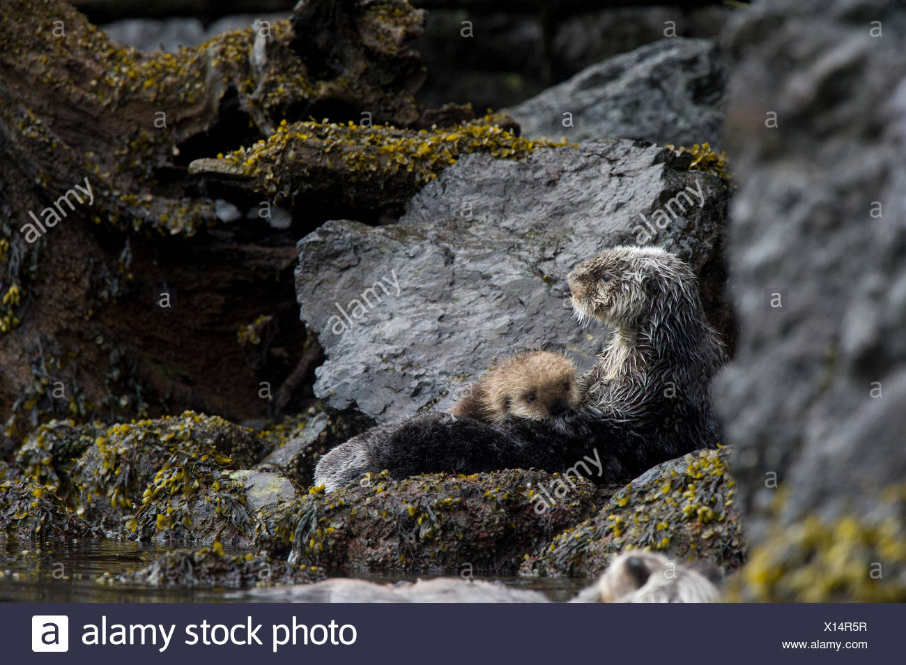 A sea otter with pup rests on Alaskan shoreline. - Stock Image