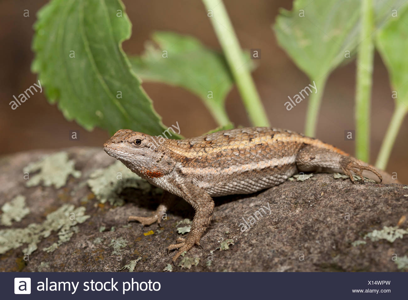 Striped Plateau Lizard, Sceloporus virgatus, Arizona, USA Stock Photo