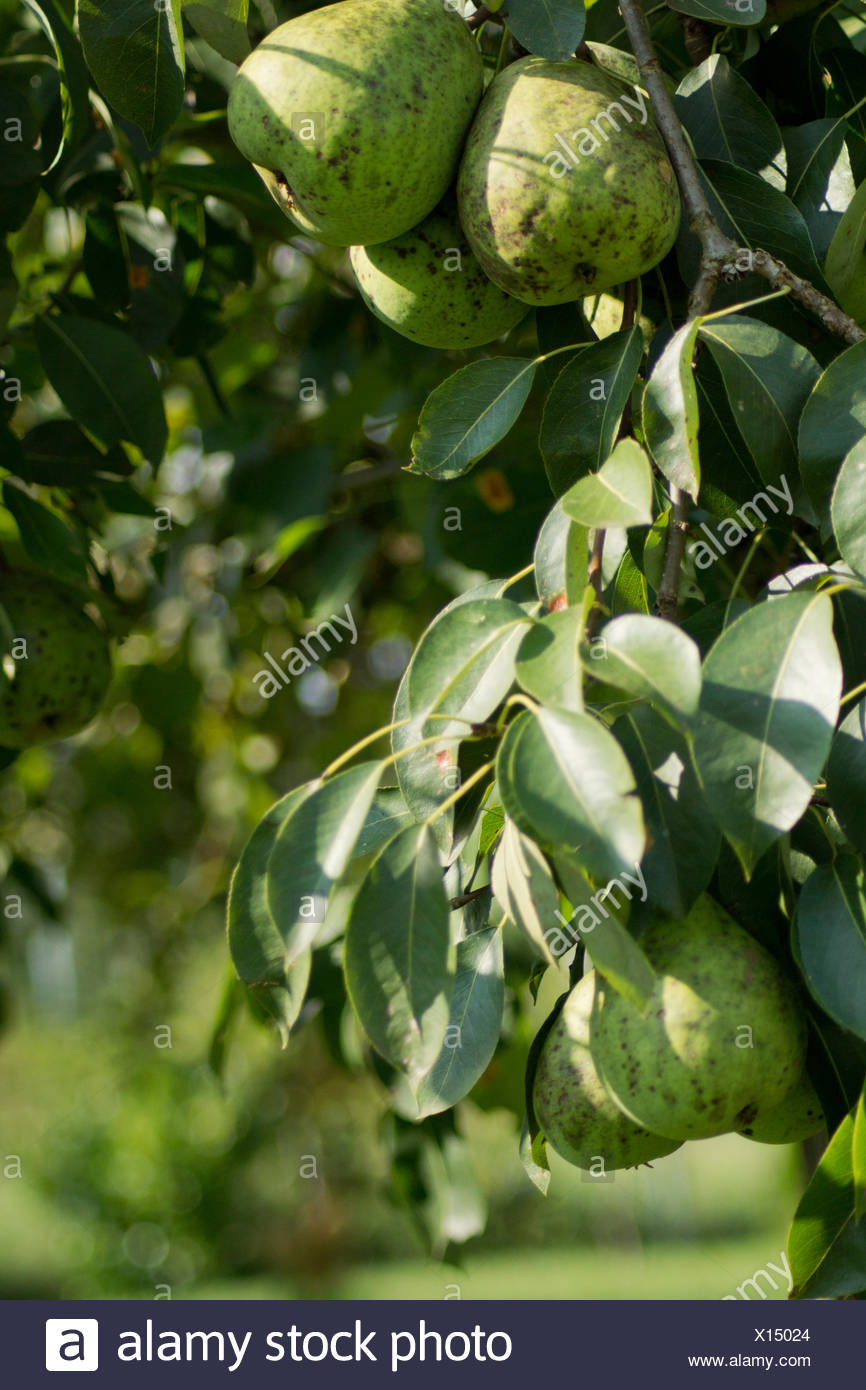 Biological Pears - Stock Image