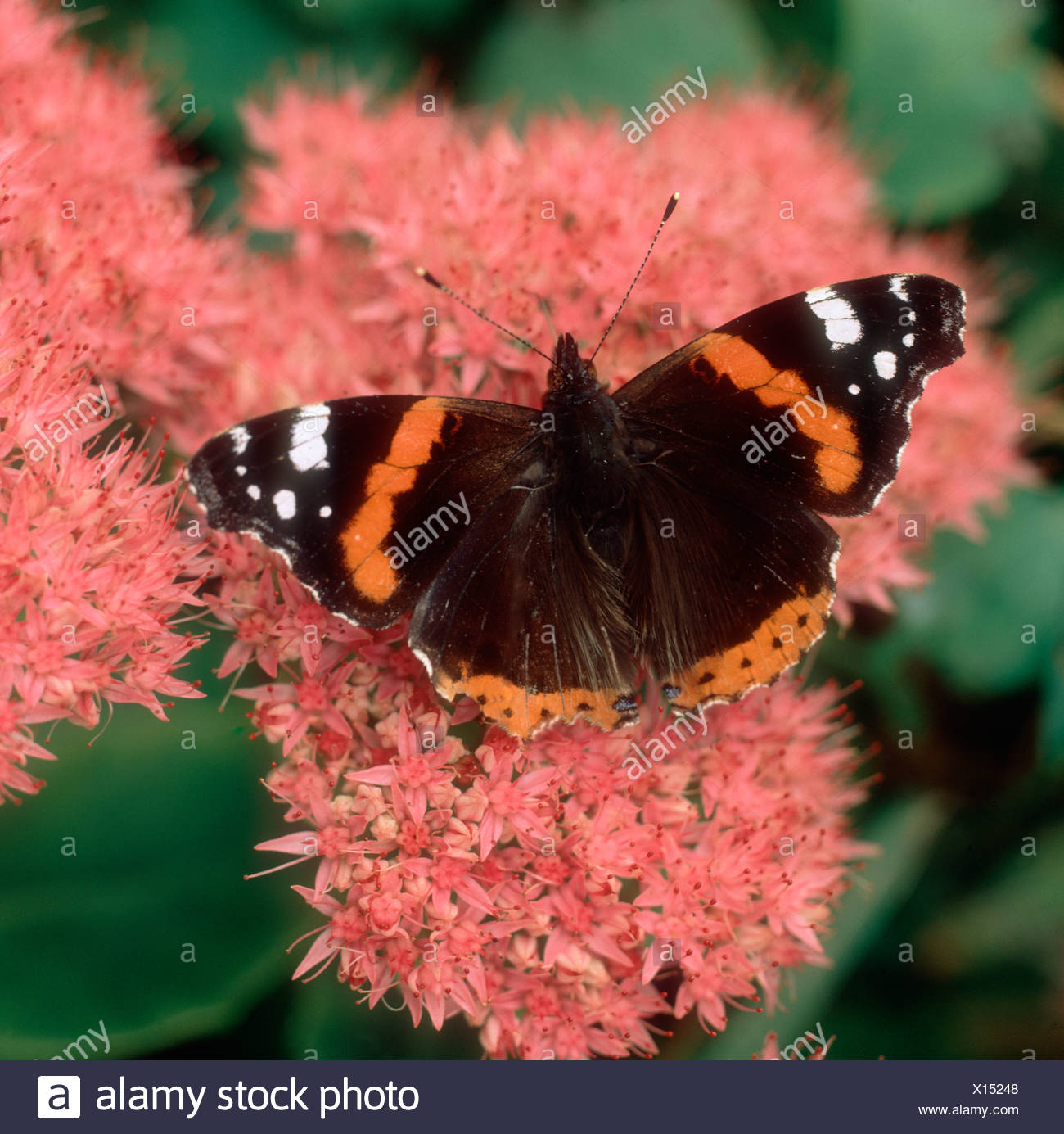 Red admiral butterfly Vanessa atalanta on a Sedum spectabile flowerhead - Stock Image