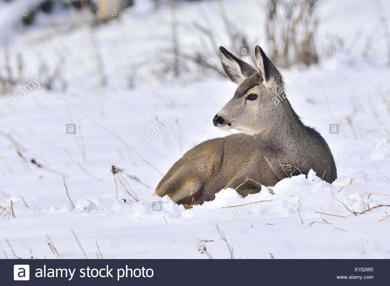 A female mule deer, Odocoileus hemionus, laying in the fresh snow in rural Alberta Canada Stock Photo
