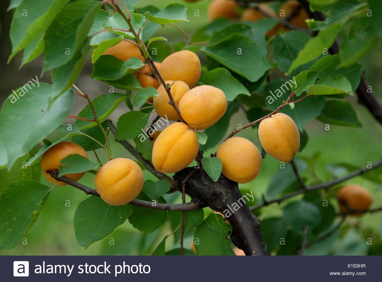 apricot tree (Prunus armeniaca 'Goldrich', Prunus armeniaca Goldrich), cultivar Goldrich, apricots on a tree - Stock Image