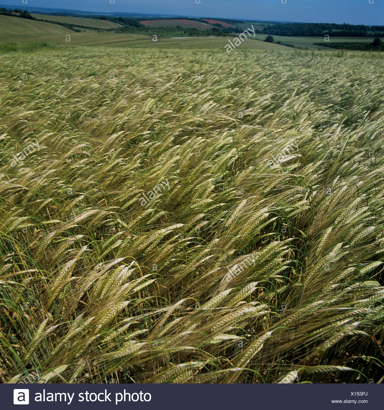 Ripening crop of barley with waving ears of corn on a summer day - Stock Image