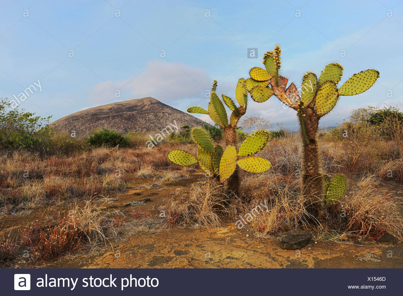 Prickly pear cactus (Opuntia echios), Puerto Egas Bay, Santiago Island, Galapagos Islands, Ecuador, South America Stock Photo