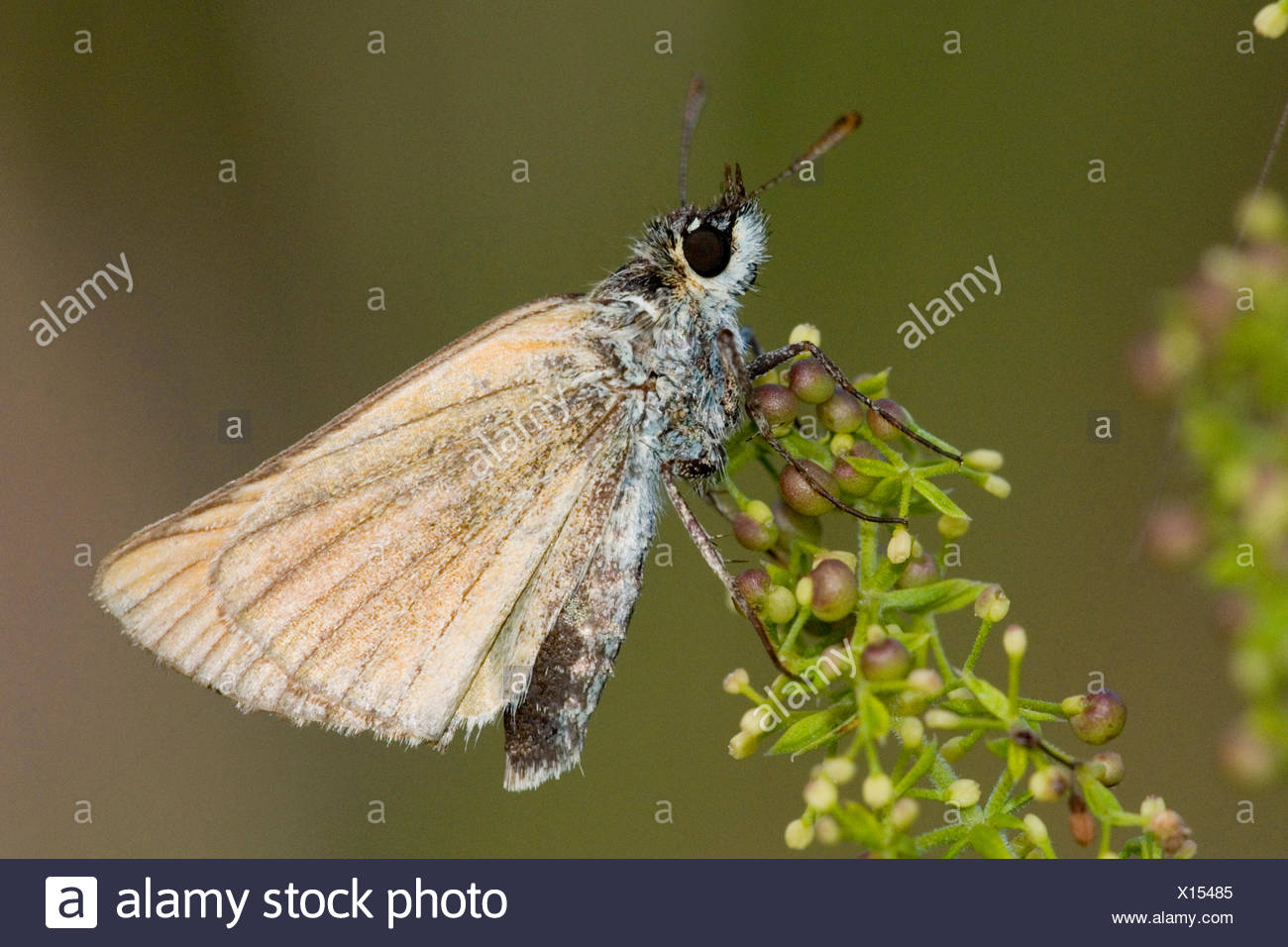 small skipper (Thymelicus sylvestris, Thymelicus flavus), on a stem, Germany - Stock Image