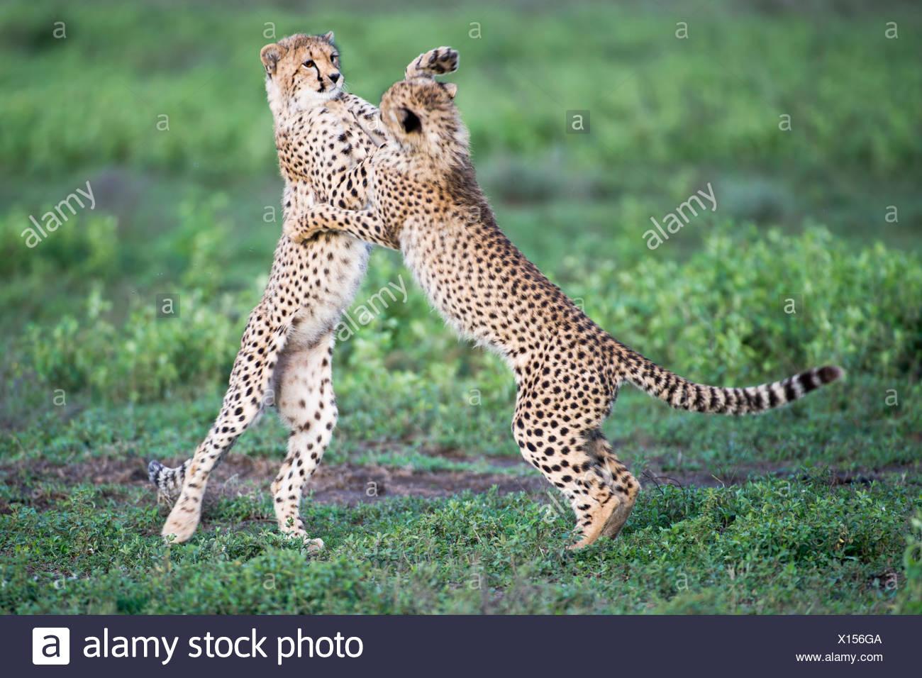 Young Cheetah cubs playing, Ndutu, Serengeti, Tanzania - Stock Image