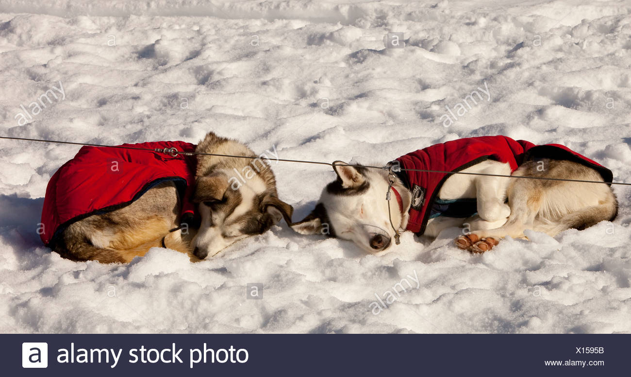 Two sled dogs with dog coats resting, sleeping in snow and sun, curled up, stake out cable, Alaskan Huskies, Yukon Territory - Stock Image