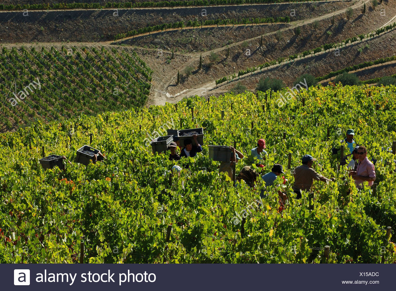 Winegrowing in the Vale Mendiz, grape pickers carrying boxes with grapes, Pinhao, Douro Region, North Portugal, Europe Stock Photo