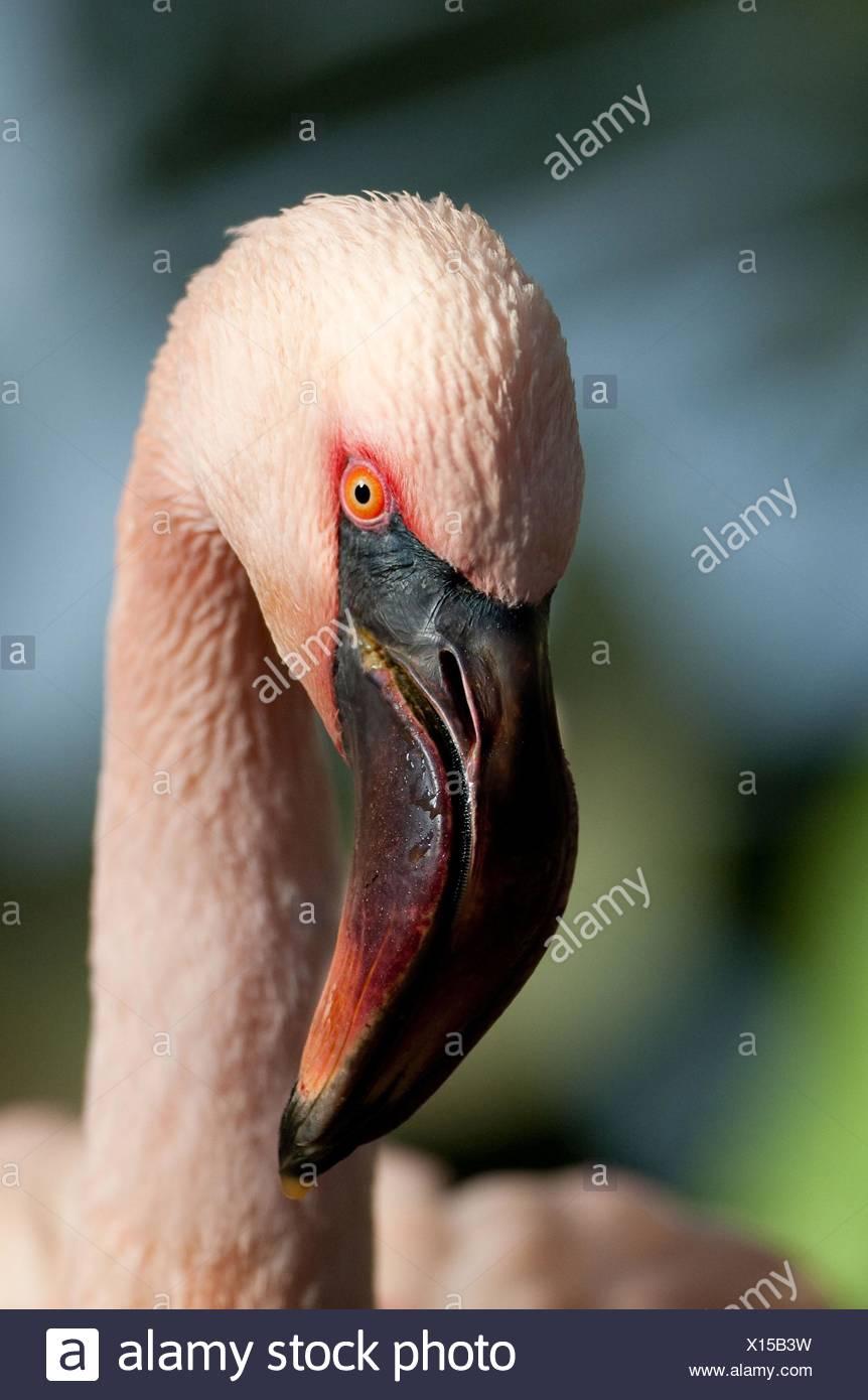 Flamingo Portrait - Stock Image