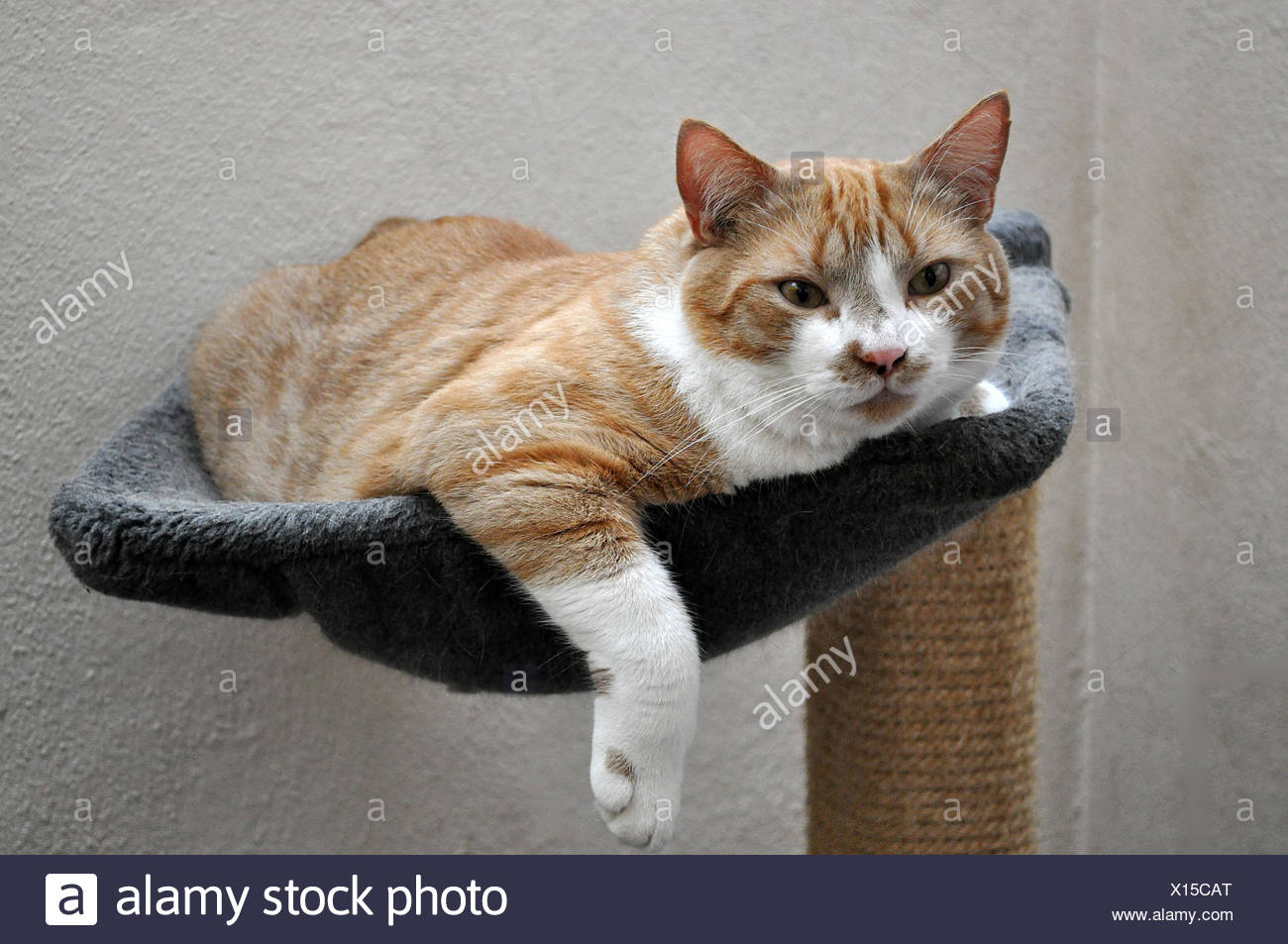 hammock pussycat cat Stock Photo