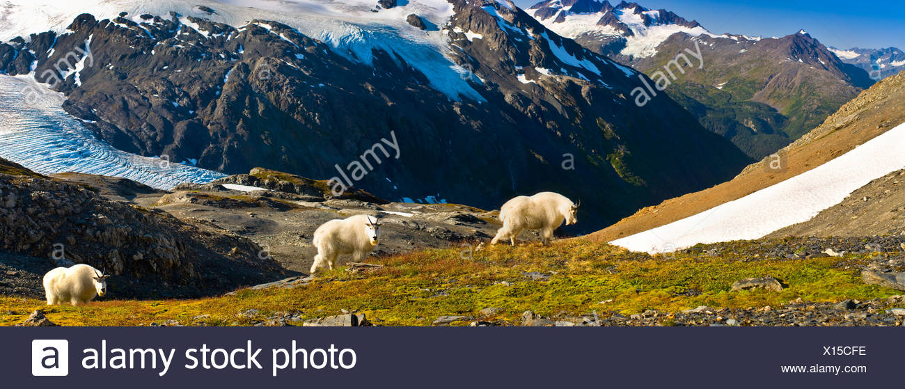 Three mountain goats foraging near Exit Glacier's Harding Icefield Trail, Kenai Fjords National Park, Alaska. Composite - Stock Image