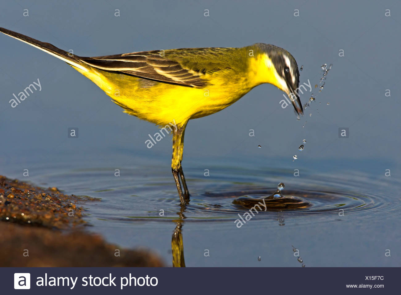 Blue-headed Wagtail, Yellow Wagtail (Motacilla flava flava), standing in a quiet water close to the bank drinking and cleaning itself, Greece, Lesbos - Stock Image