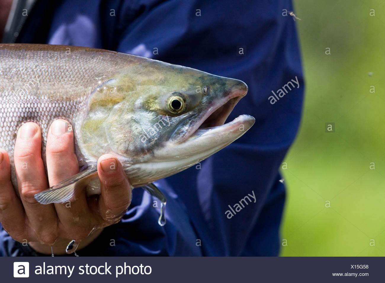 A fly fisherman holds up a sockeye salmon caught on the Koktuli River in Bristol Bay, Southwest Alaska, Summer Stock Photo