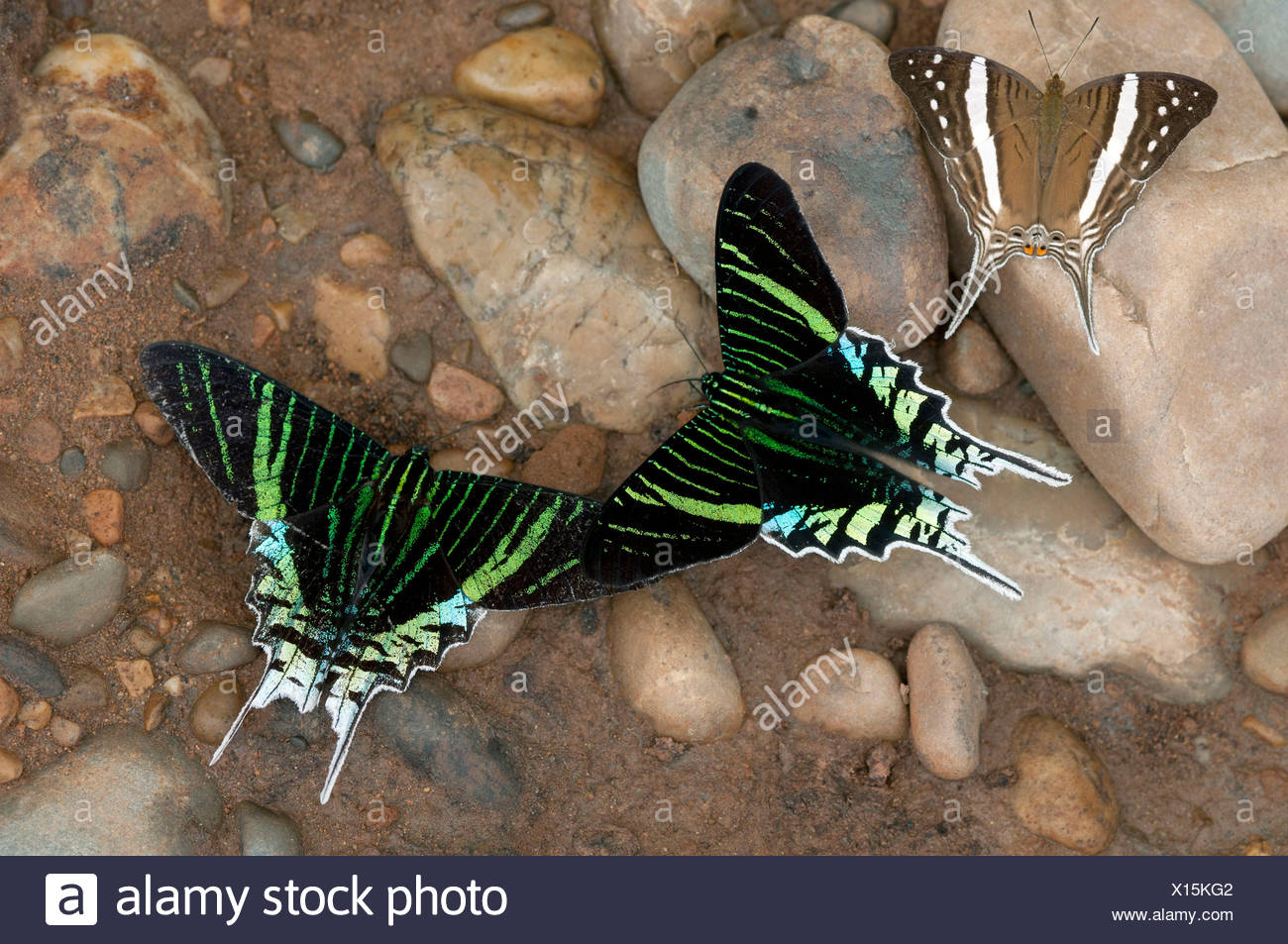 Green-banded Urania moths (Urania leilus) feeding on mineral-rich water, Tambopata Nature Reserve, Madre de Dios - Stock Image