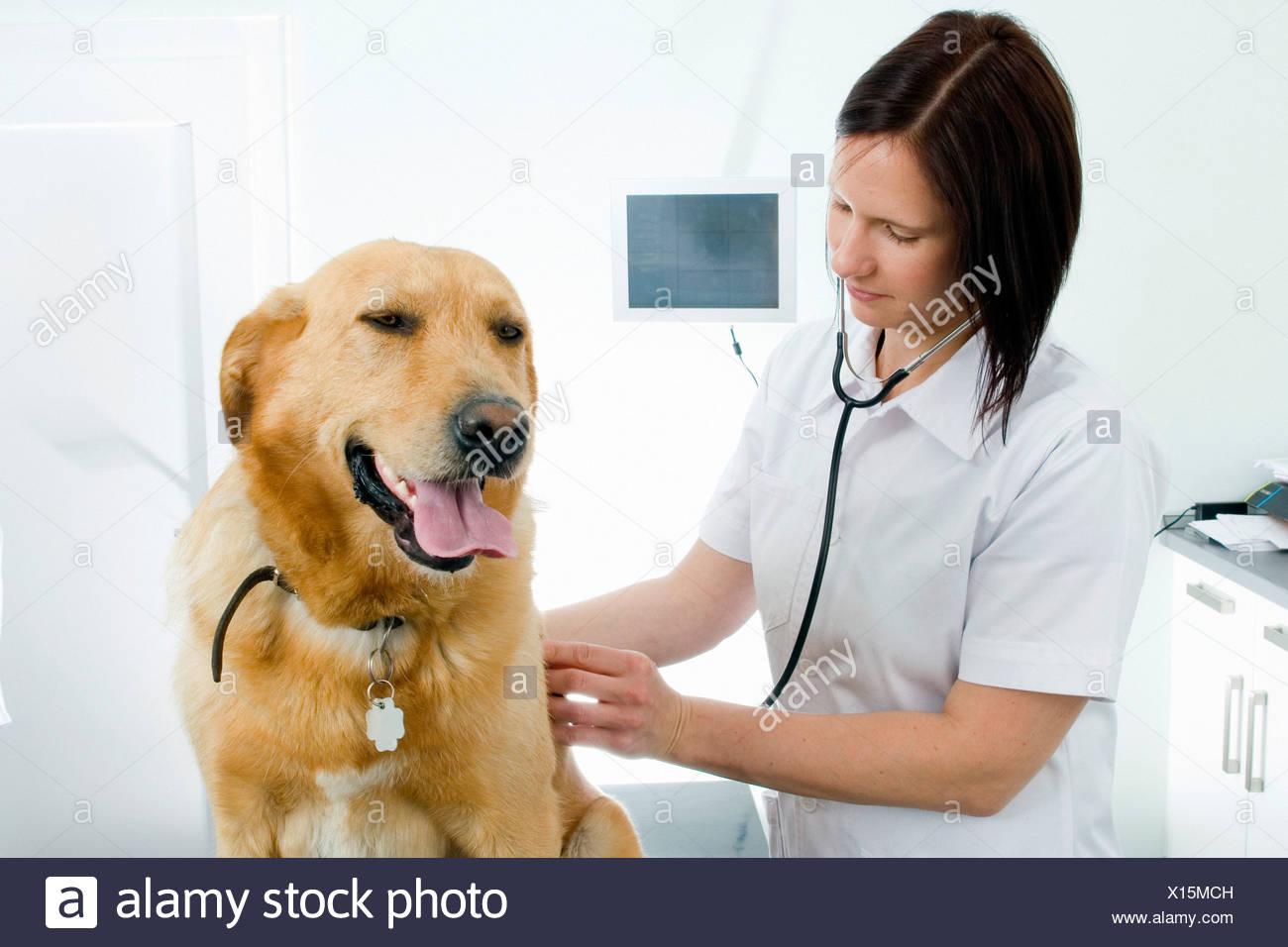 Veterinarian, veterinary surgeon, veterinarian, practise, examine, investigate, domestic animal, pet, ill, sick, dog, dog illnes - Stock Image