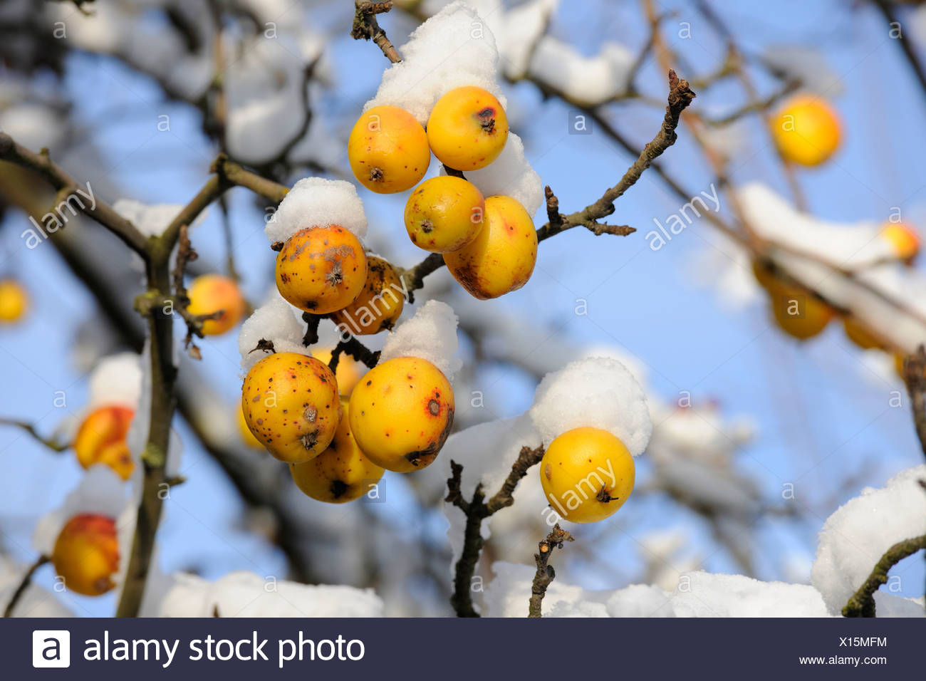 Crab Apples or European Wild Apples (Malus sylvestris) in the snow, Thuringia, Germany, Europe - Stock Image