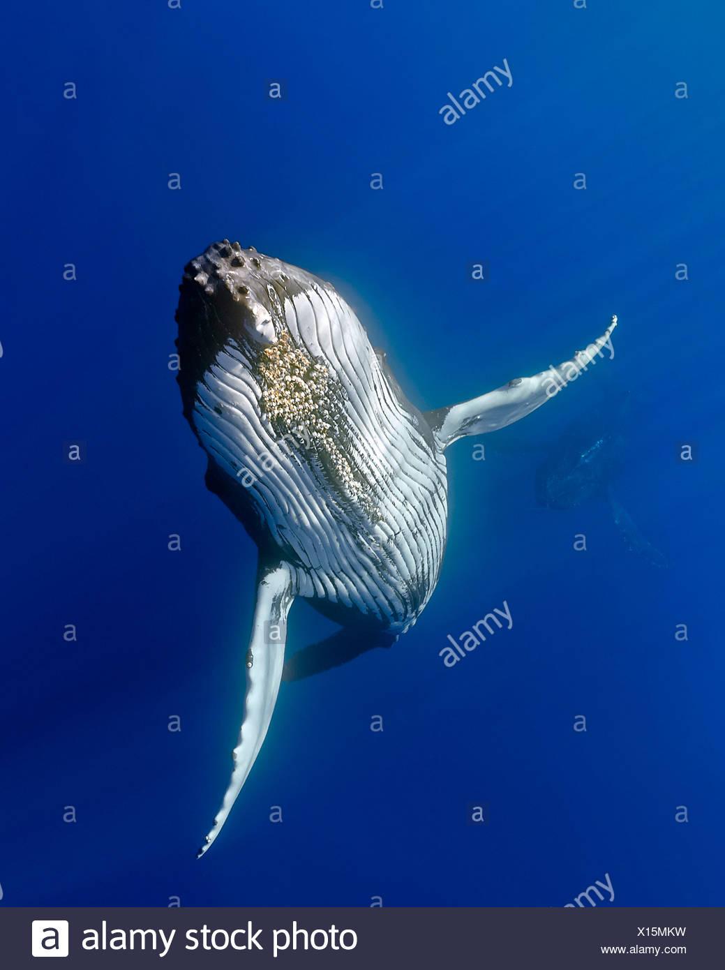 Humpback whale, (Megaptera novaeangliae) - Stock Image