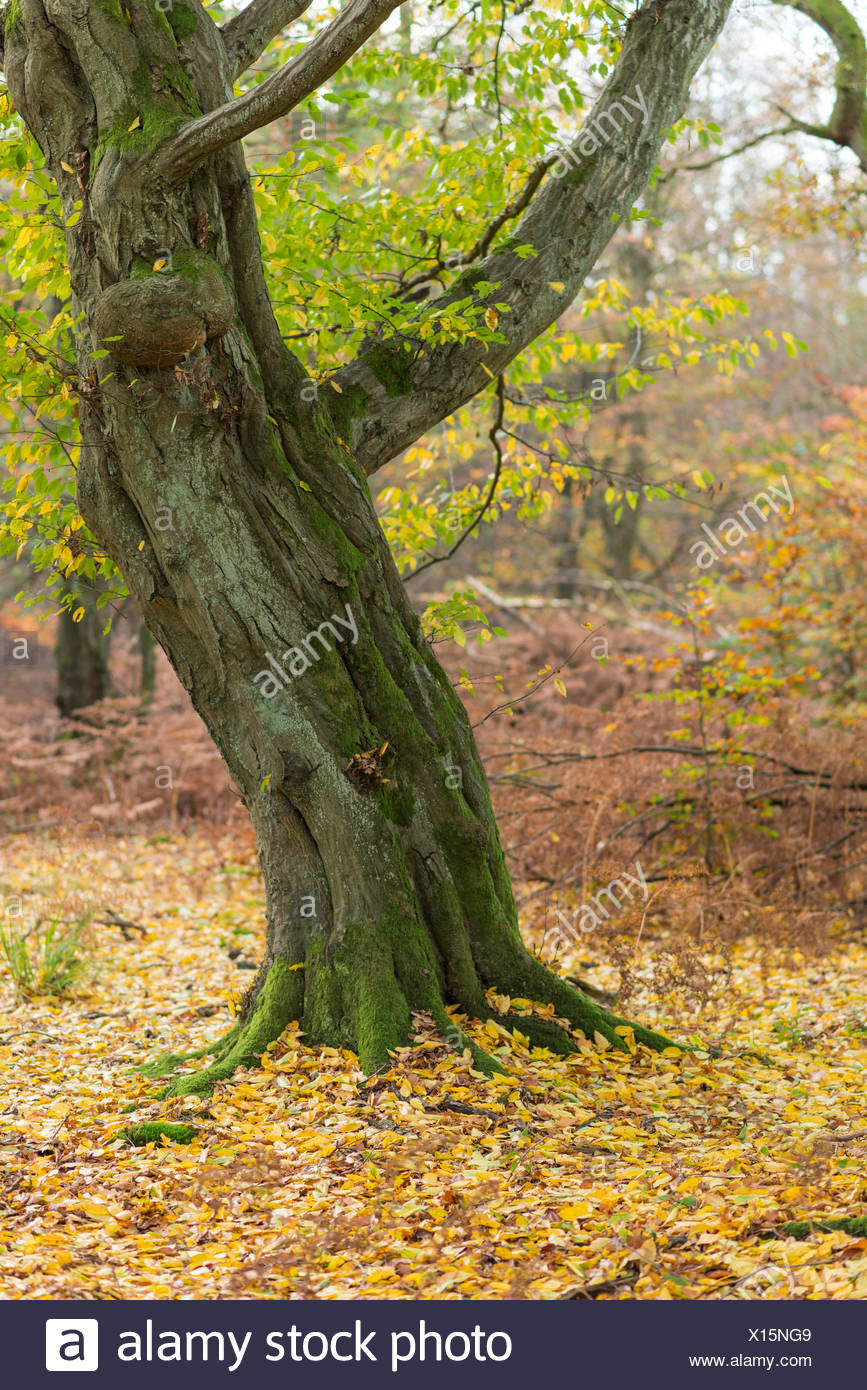 Forest Sababurg Germany - Stock Image