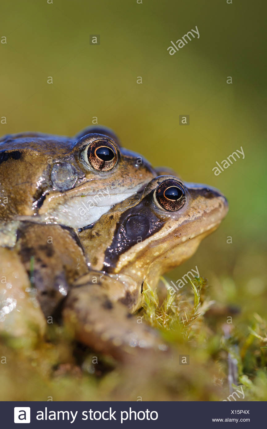 common frogs at spawning season, rana temporaria, vechta district, niedersachsen, germany - Stock Image