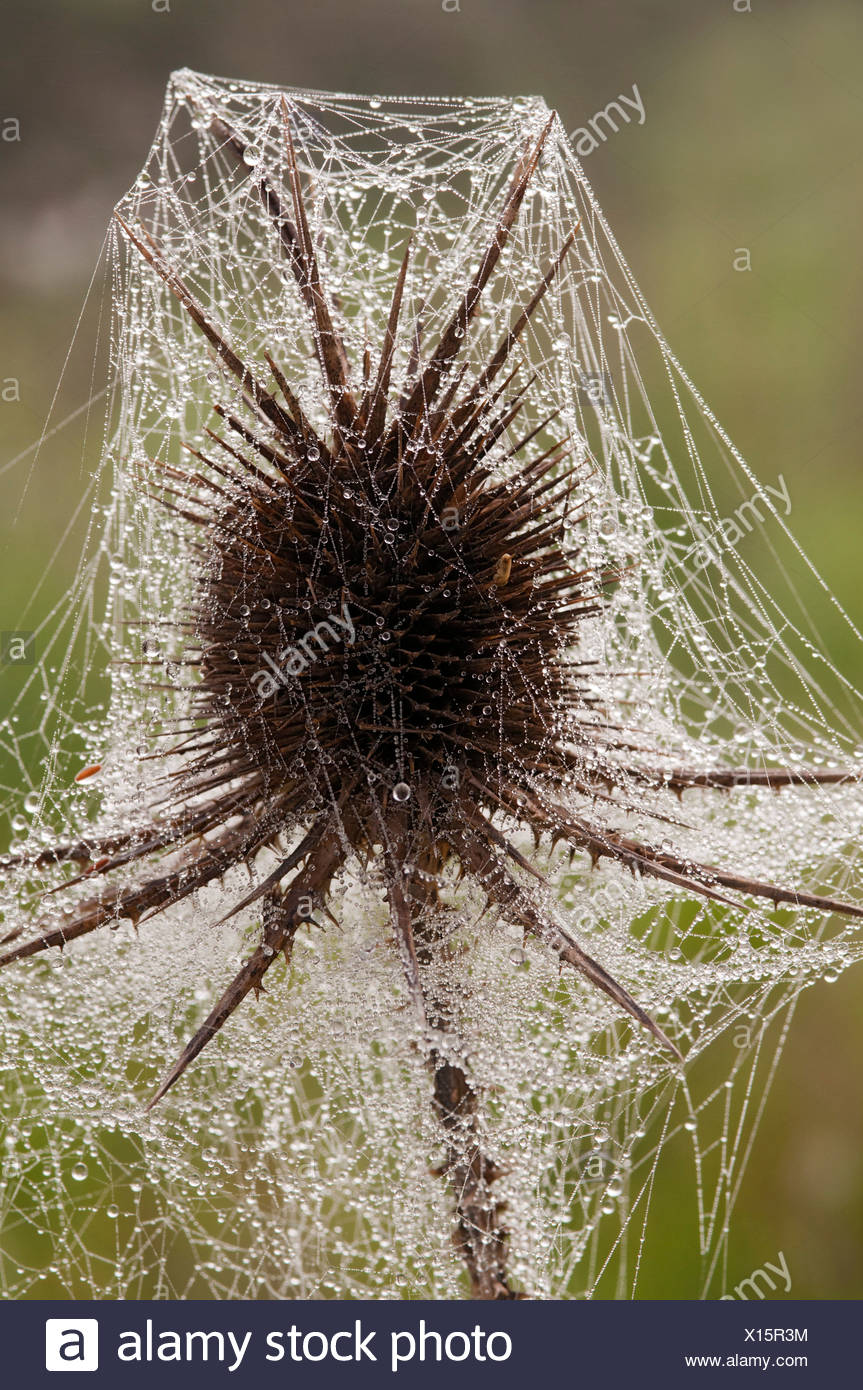 Spiny Teasel (Dipsacus ferox), Monteleone, Sardinia, Italy, Europe - Stock Image